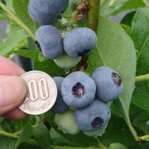 100硬貨大のブルーベリーの果実