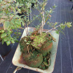生育不良のブルーベリーの木