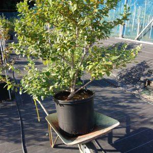 移動するブルーベリーの木